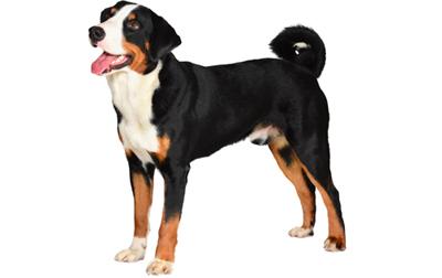 appenzeller-sennenhunde