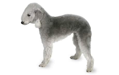 Bedlington Terrier Canna Pet