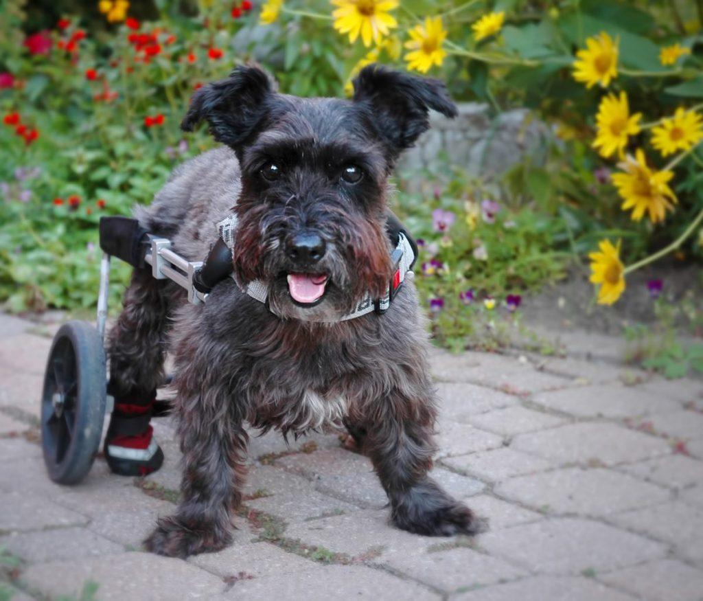 dog paralysis common causes u0026 treatment canna pet