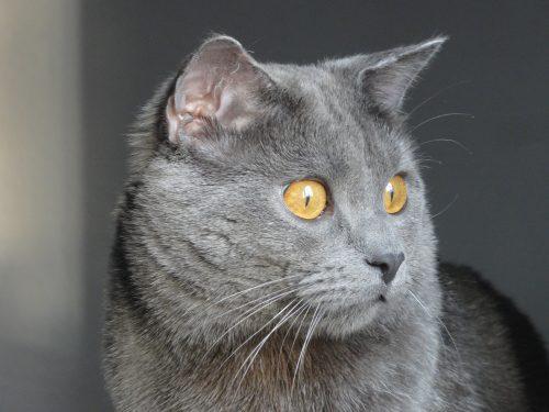 lymphoma-cancer-cats-canna-pet