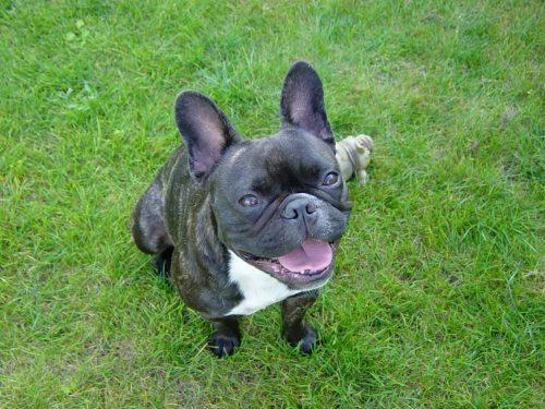 french bulldogs family dog_canna-pet