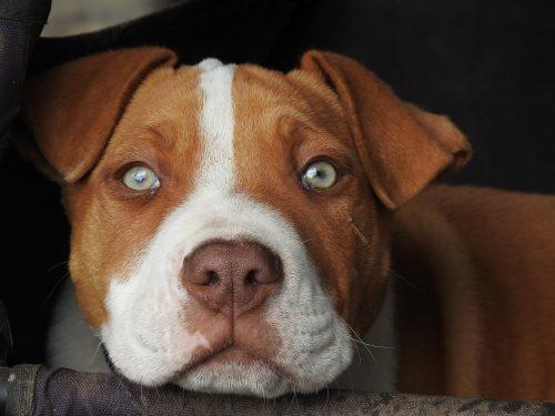 cherry eye on a dog_canna-pet