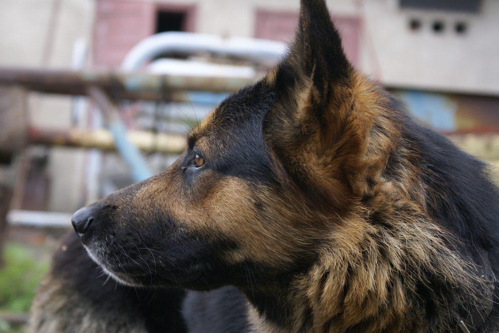 heart disease in dogs_canna-pet