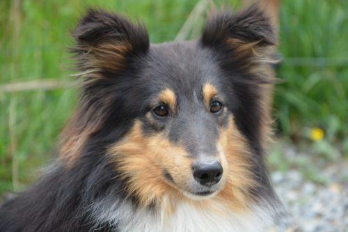 phenobarbital for dog_canna-pet