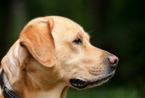 dogs liver failure_canna-pet